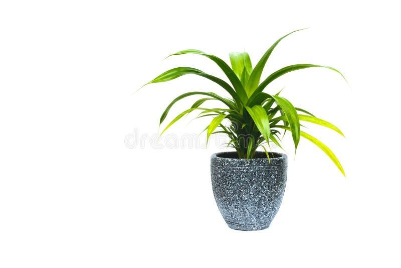 Grüne Topfpflanze, Bäume im Topf lokalisiert auf Weiß lizenzfreie stockfotos