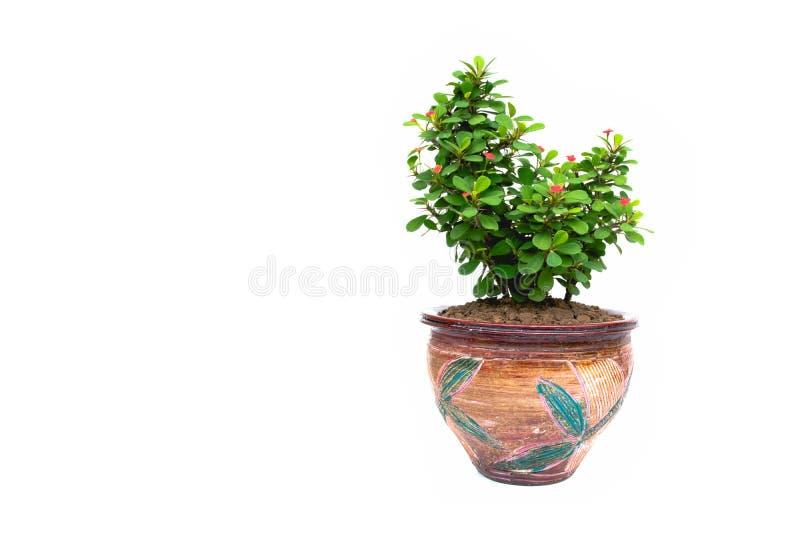 Grüne Topfpflanze, Bäume im Topf lokalisiert auf Weiß stockfotos