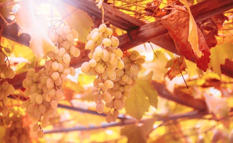 Grüne Trauben auf der Rebe, Weißweinvielzahl im Weinberg, natürlicher Hintergrund des Herbstes, selektiver Fokus lizenzfreie stockfotos
