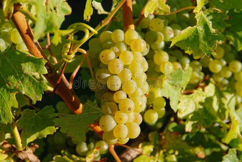 Grüne Trauben, die in einem Neuseeland-Weinberg wachsen stockfotos
