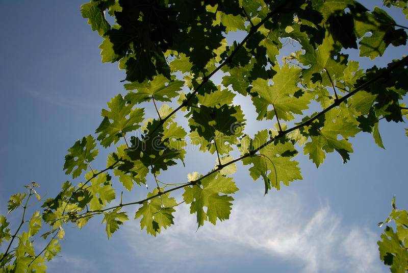 Grüne Trauben-Reben lizenzfreie stockfotografie