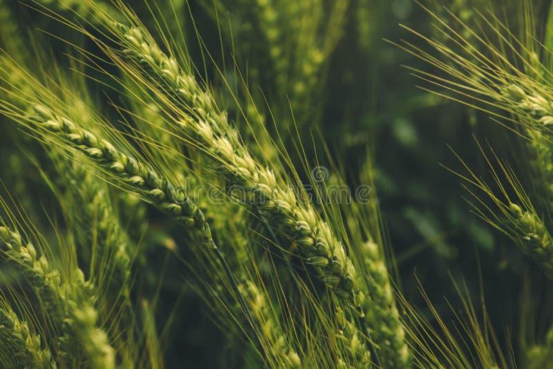 Grüne Triticumohren, Kreuzung des Weizens und Roggen auf dem Gebiet stockfotografie