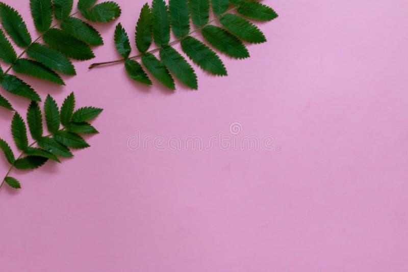 Grüne tropische Blätter auf einer linken oberen Ecke auf rosa Hintergrund lizenzfreie stockfotografie