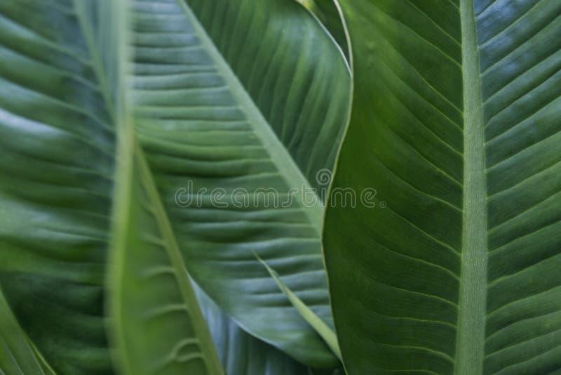 Grüne tropische Blattbeschaffenheit horizontal, natürlich lizenzfreie stockfotografie