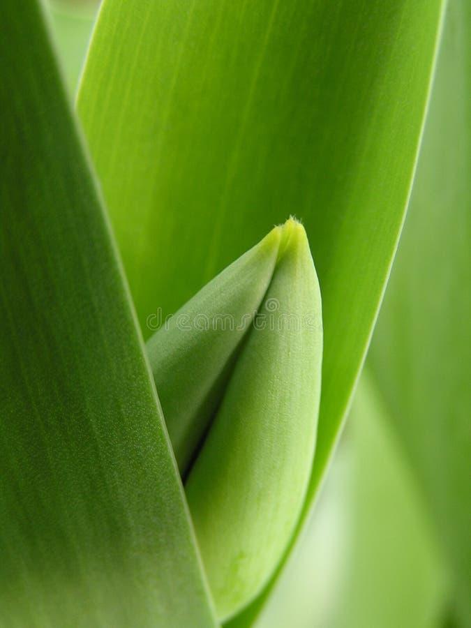 Grüne Tulpe lizenzfreies stockbild