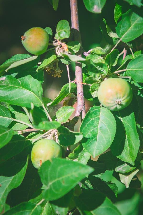 Grüne unausgereifte Äpfel auf einem Baum gardening lizenzfreie stockfotografie