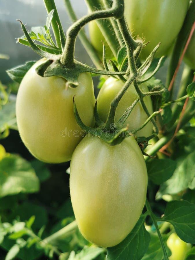 Grüne unausgereifte Tomaten stockfotografie