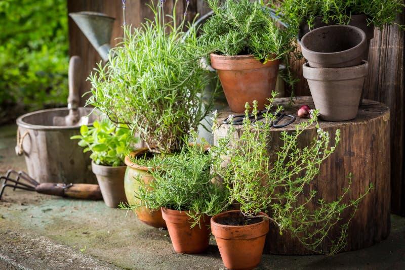 Grüne und ökologische Kräuter in den alten Tongefäßen stockfotos