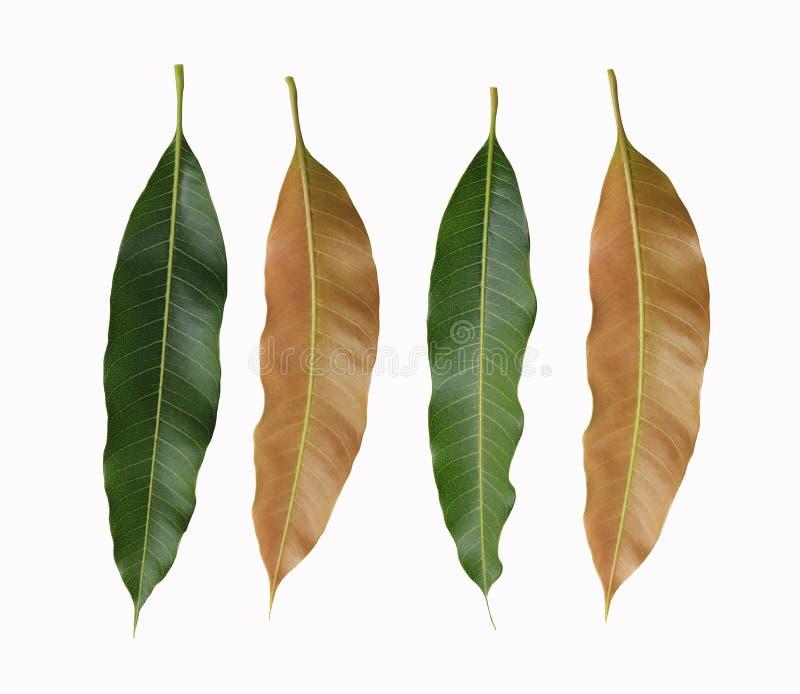 Grüne und braune Blätter von den Mangobäumen lokalisiert auf weißem backgrou stockfotos