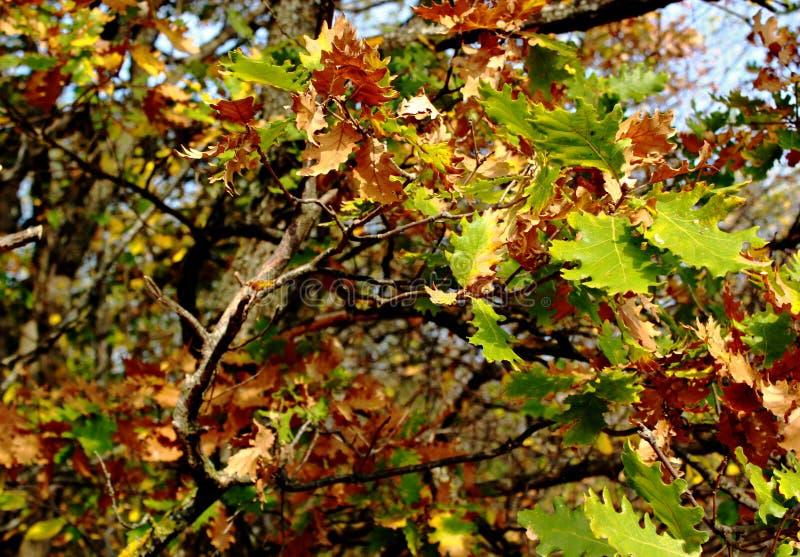 Grüne und gelbe Blätter von oaksin Herbst stockbild
