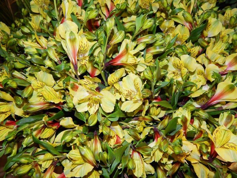 Grüne und gelbe Daylilies stockbilder
