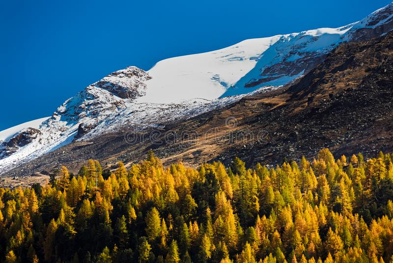 Grüne und gelbe Kiefer des Herbstes im Gebirgs-Wald-neare Matterhorn, Zermatt, die Schweiz lizenzfreies stockbild