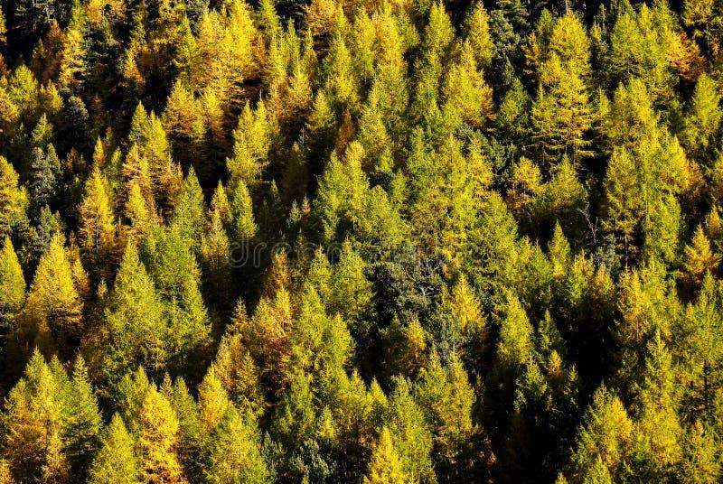 Grüne und gelbe Kiefer des Herbstes im Gebirgswald nahe Matterhorn, Zermatt, die Schweiz lizenzfreies stockbild