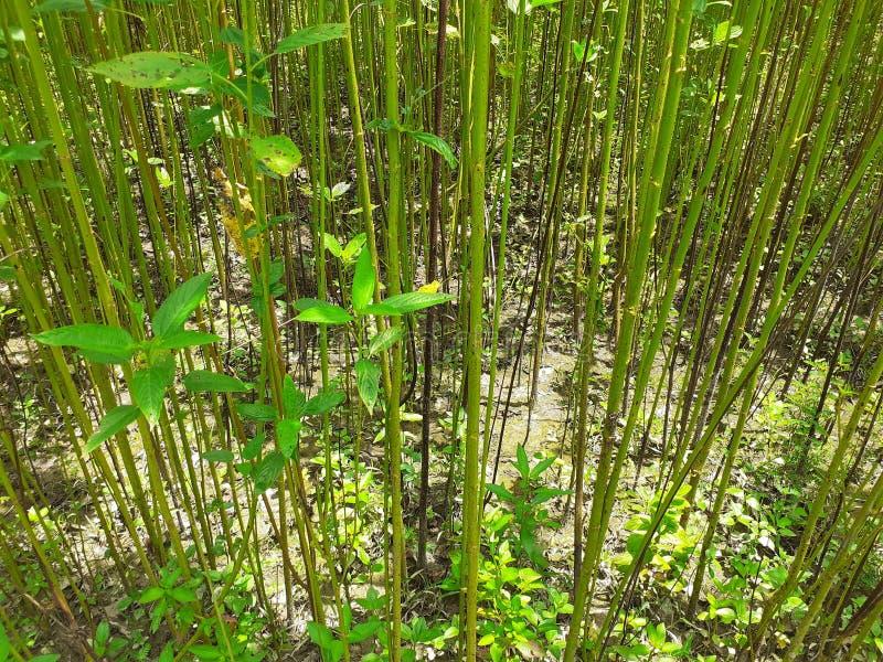 Grüne und hohe Jutefaseranlagen Jutefaserbearbeitung in Assam in Indien stockbilder