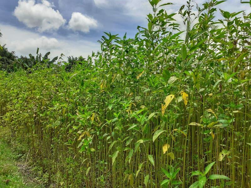 Grüne und hohe Jutefaseranlagen Jutefaserbearbeitung in Assam in Indien lizenzfreies stockbild