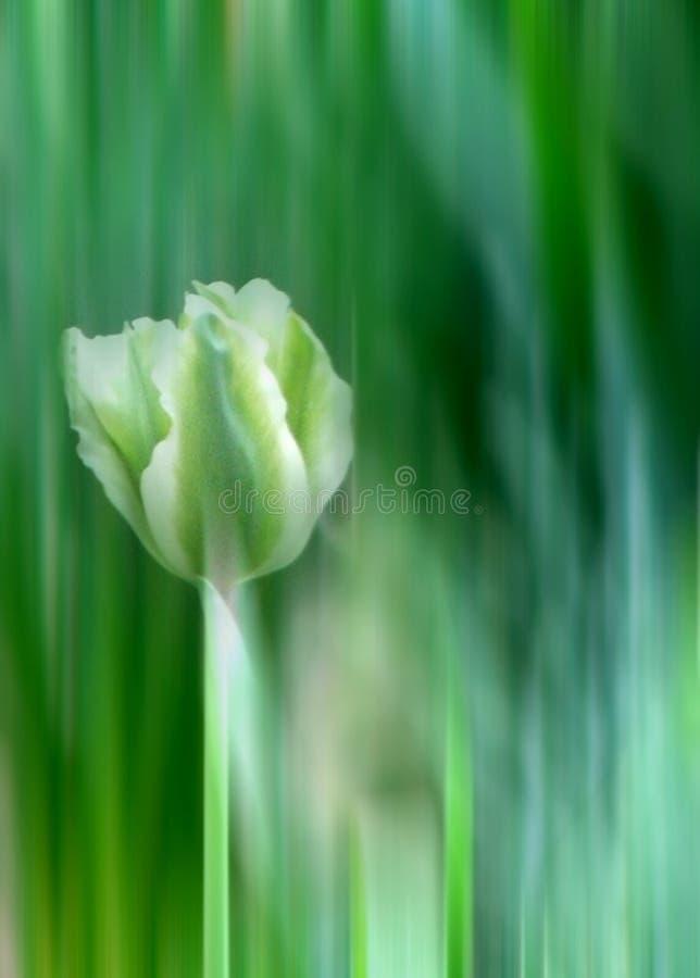 Grüne und weiße Tulpe stockbild