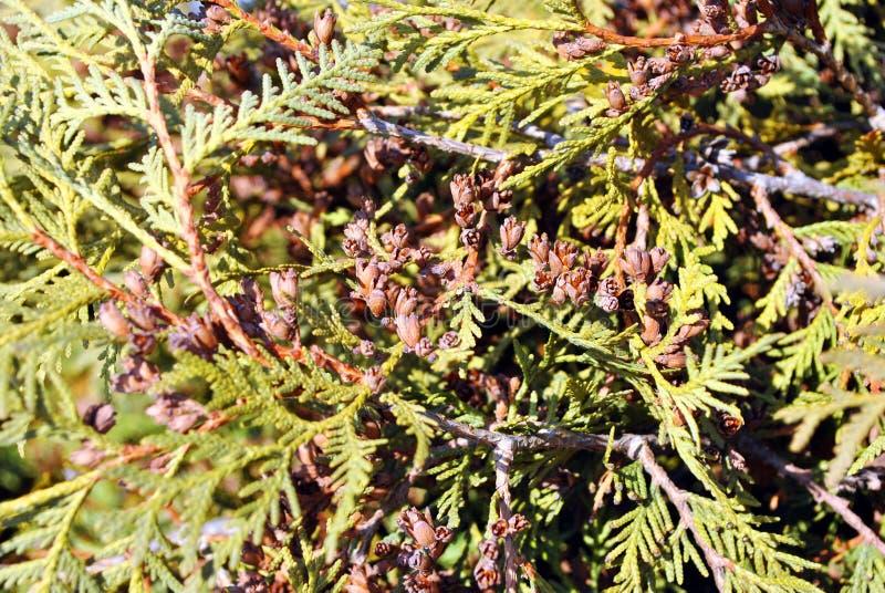 Grüne Wacholderbuschzweige mit Nadeln und braunen kleinen Kiefernkegeln, Draufsicht, undeutlicher Hintergrund stockbild