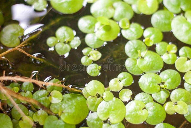 Grüne Wasserpflanze lässt Hintergrund auf Wasser lizenzfreie stockfotografie