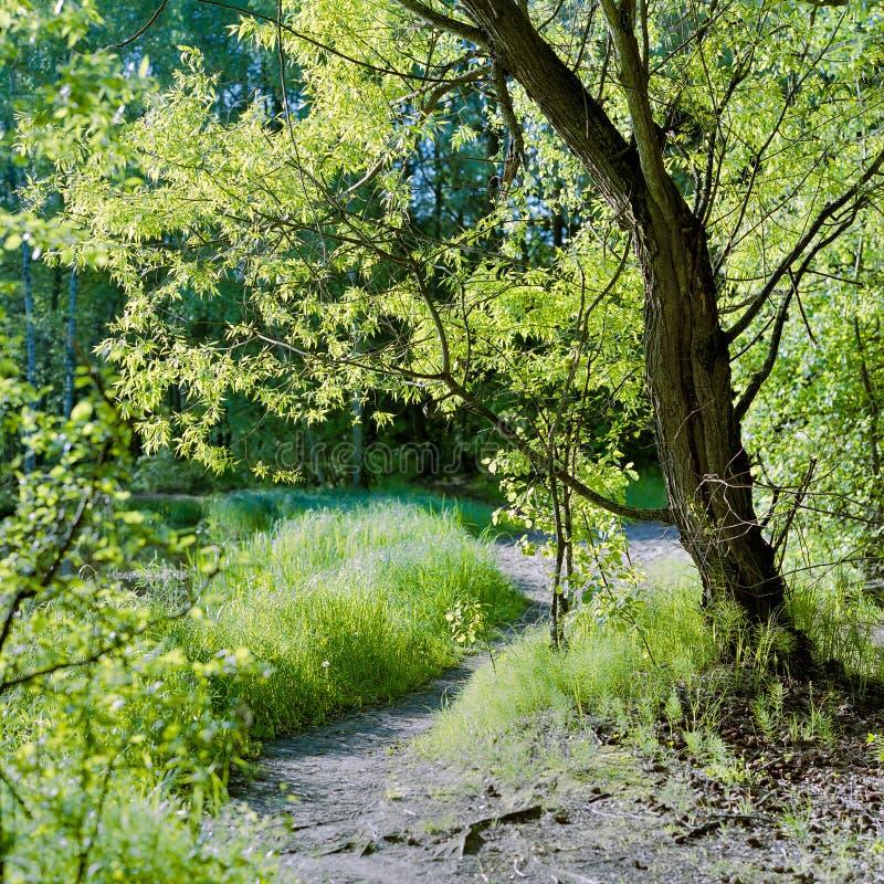 Grüne Weide am sunlit Wald der Lichtung im Frühjahr stockbilder
