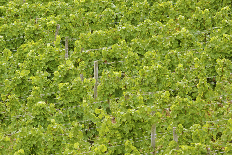 Grüne Weinstöcke lizenzfreies stockbild