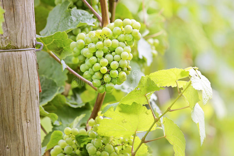 Grüne Weintrauben stockfotos