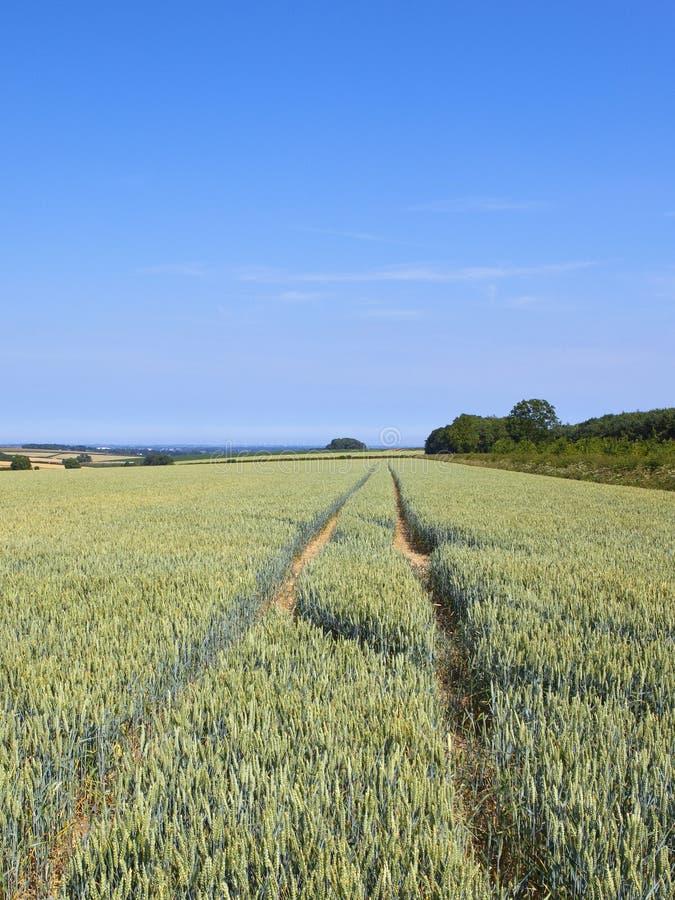 Grüne Weizenernten und -waldland in einem englischen Sommer gestaltet landschaftlich stockbild