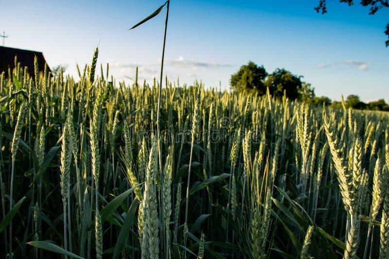 Grüne Weizenspitzen vor dem hintergrund des blauen Himmels mit Wolke und grünem Baum stockfoto
