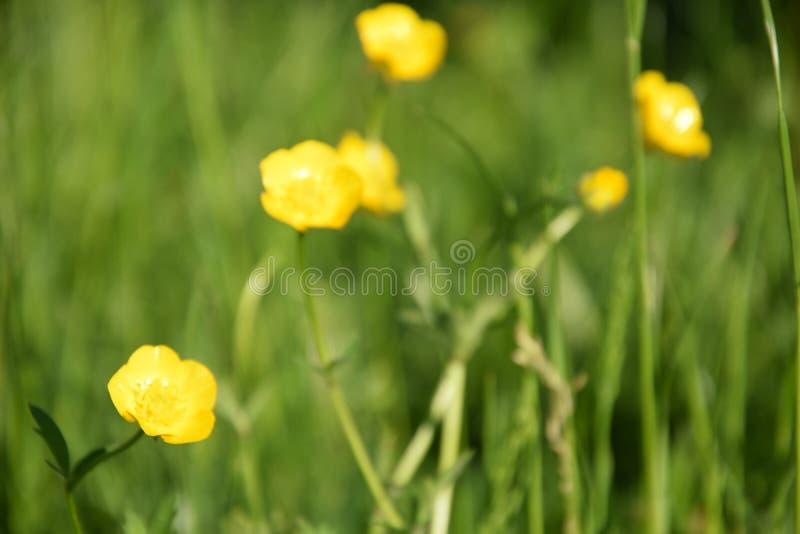 Grüne Wiese mit gelben Butterblumeen stockfoto