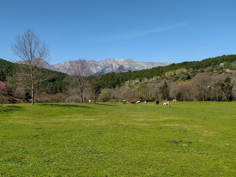 Grüne Wiese mit Kühen und den Bergen der Sierra von Gredos im Hintergrund, an einem Frühlingstag lizenzfreie stockfotos