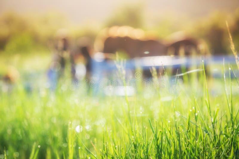Grüne Wiese und Gräser mit Morgen befeuchten am Vordergrund und an den Pferden im Stall als Hintergrund mit Goldsonnenlicht lizenzfreie stockbilder