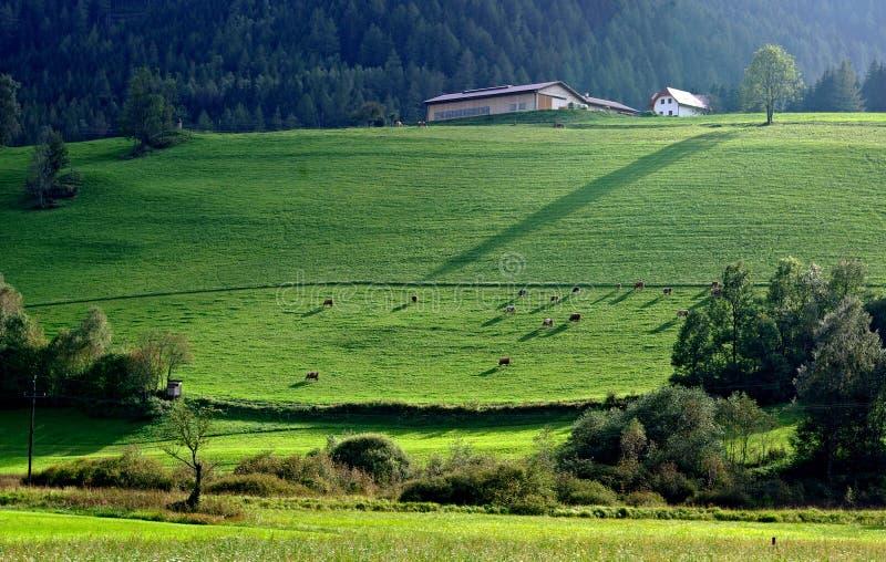 Grüne Wiese und Tier stockfoto