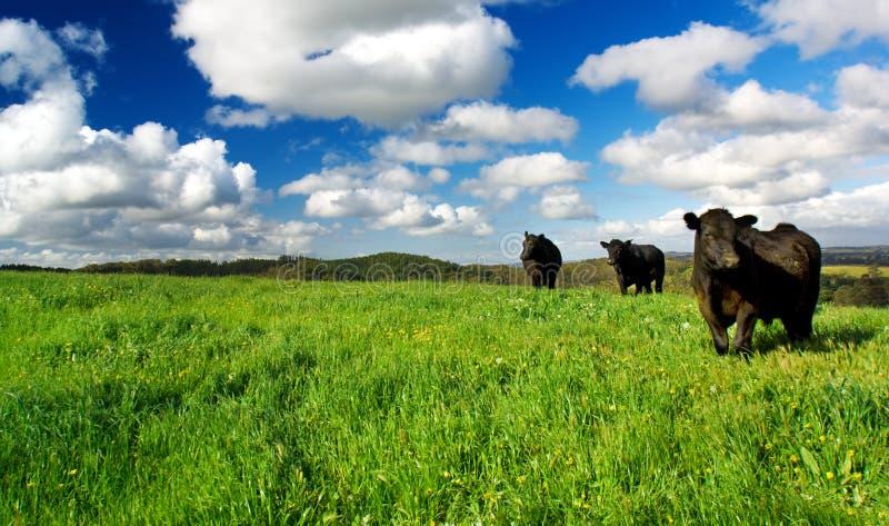 Grüne Wiesen-Kühe Lizenzfreie Stockfotografie