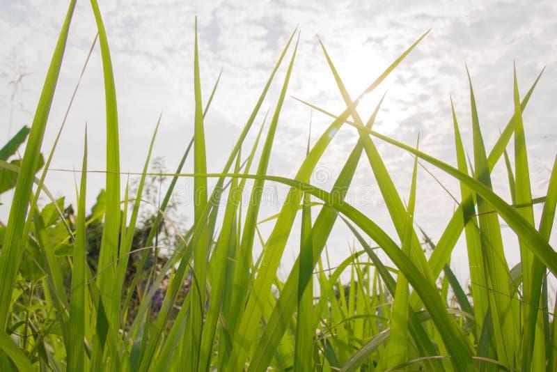 Grüne Wiesen-Nahaufnahme mit hellem Sonnenlicht Sunny Spring Backgro stockfotos