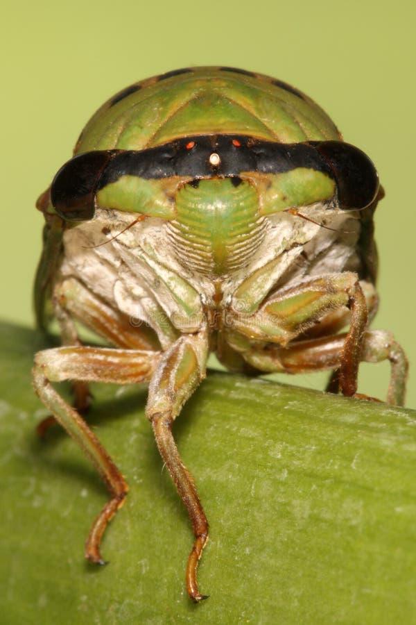 Grüne Zikade lizenzfreies stockbild