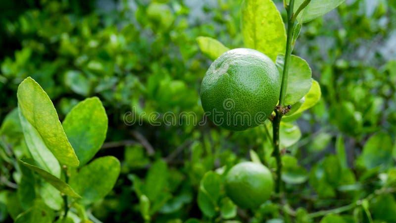 Grüne Zitronen auf den Zitronenbäumen im Garten lizenzfreies stockbild