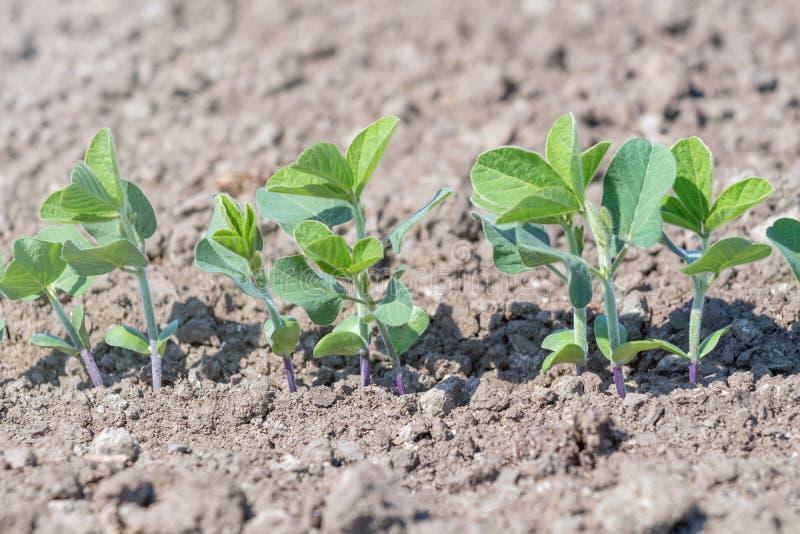 Grünen Sie angebaute Sojabohnenölbohnenanlage auf dem Gebiet, Frühlingszeit lizenzfreies stockfoto