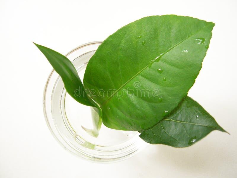 Grünen Sie Blätter lizenzfreie stockfotos