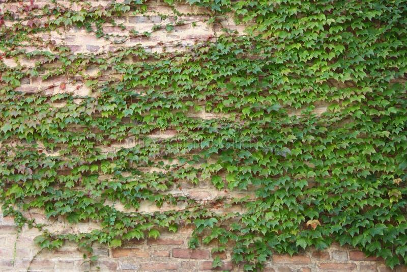 Grünen Sie Efeublätter auf einer Wand stockfoto
