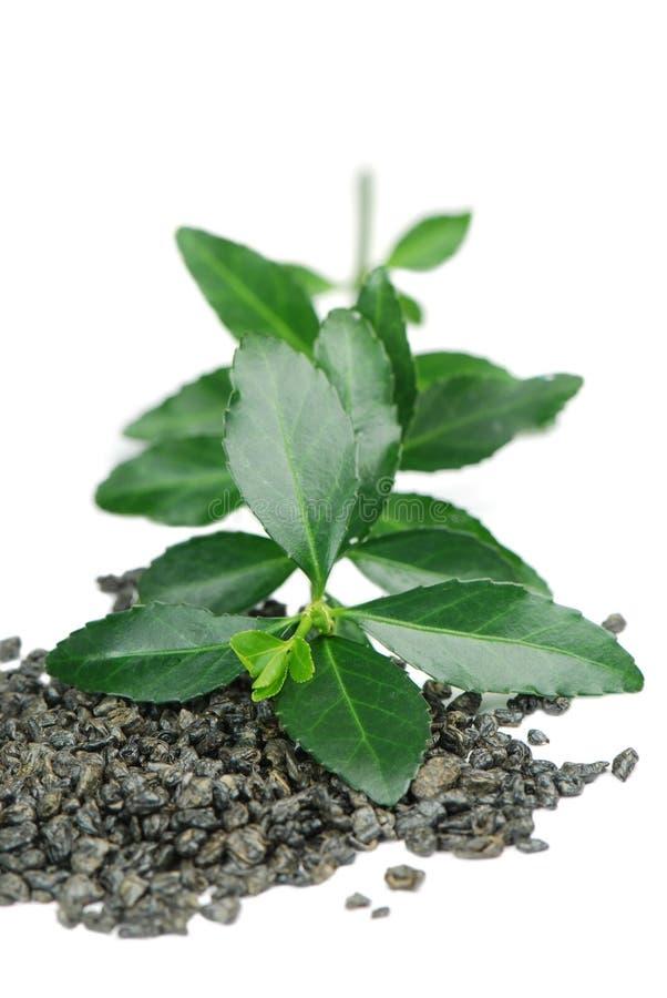 Grünen Sie Teeblätter lizenzfreie stockbilder