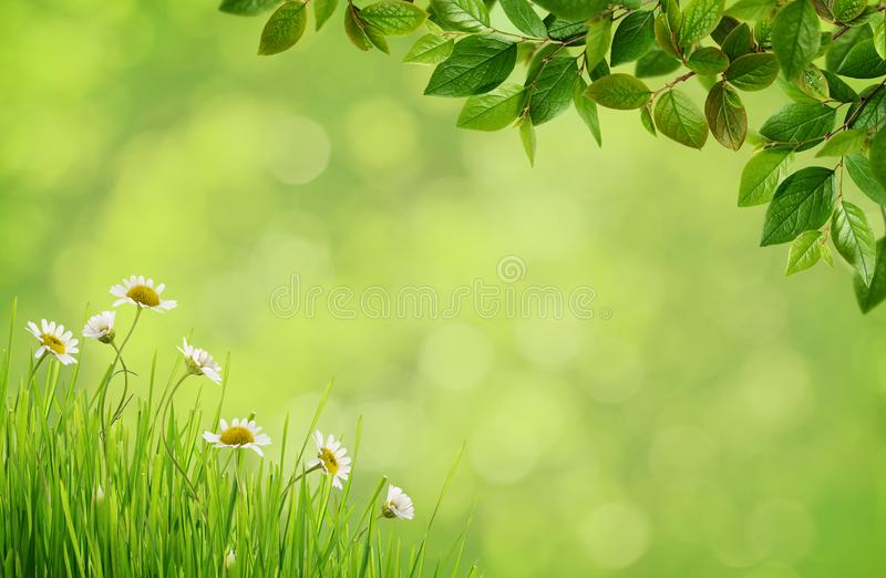 Grünen Sie unscharfen Hintergrund mit Gänseblümchenblumen, Gras und Frühlingsbr stockfoto