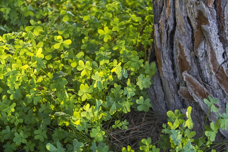 Grüner üppiger Klee nahe dem alten Kiefer-im Frühjahr Wald lizenzfreies stockbild