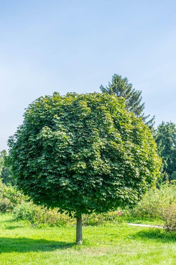 Grüner Acer platanoides Globosum-Baum lizenzfreie stockbilder