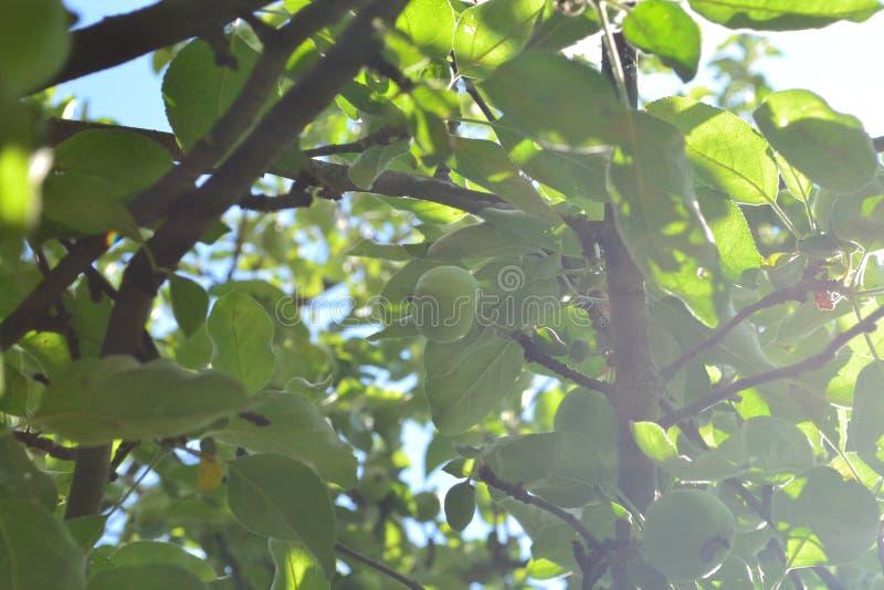 Grüner Apfel an einem sonnigen Tag stockfotos