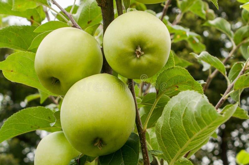 Grüner Apfel golden lizenzfreie stockfotos