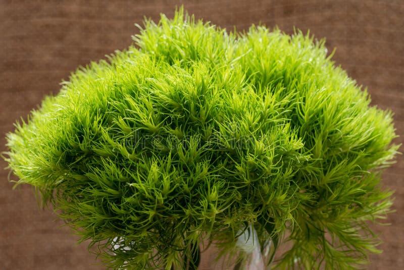 Grüner Ball - Dianthus Barbatus - Bartnelke Einzigartige Ball-förmige, lindgrüne Blumen im Klarglasvase lokalisiert auf natürlich stockbilder