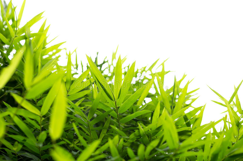 Grüner Bambus verlässt Hintergrund lokalisiert stockfoto