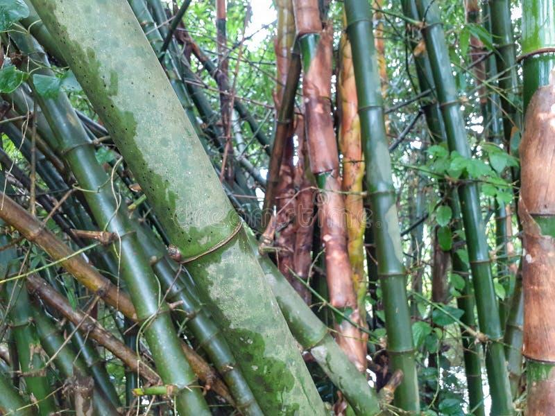grüner Bambusbaum mit Blättern im Wald im regnerischen Wetter, Indien lizenzfreie stockbilder