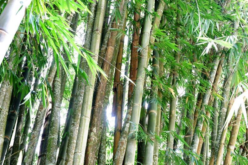 Grüner Bambushintergrund im Garten stockbild