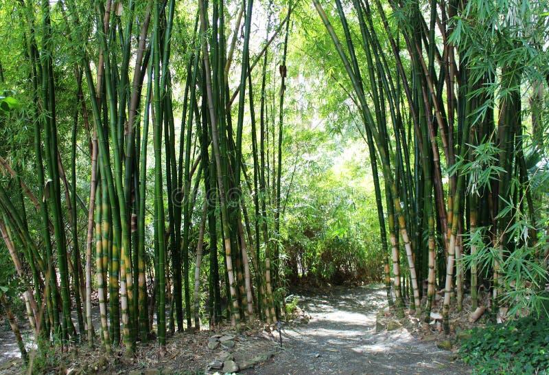 Grüner Bambuswald stockfotografie