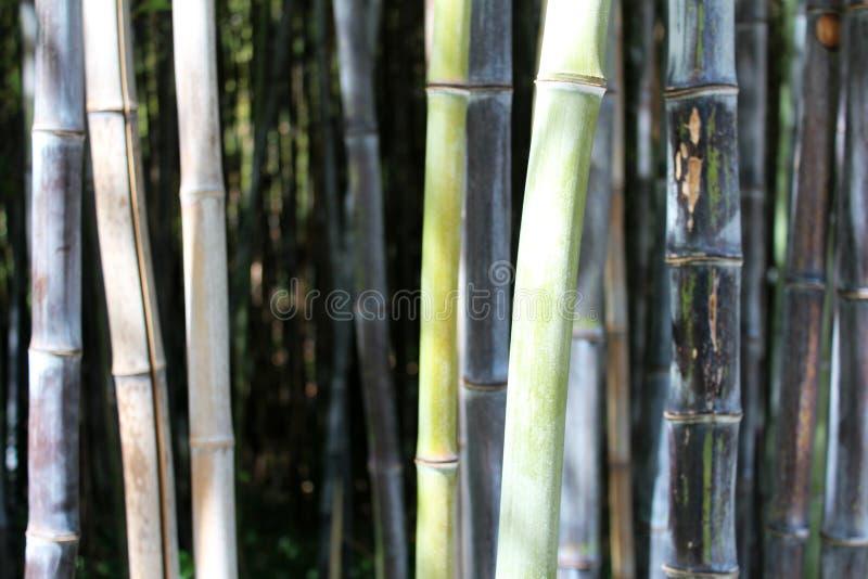 Grüner Bambuswald stockbild